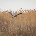 A heron flies above the marsh.- Blue Goose Nature Trail