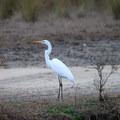 An egret standing in the wildlife refuge.- Rockefeller Wildlife Refuge