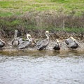Brown pelicans gather near the observation deck at the end of Price Lake Road.- Rockefeller Wildlife Refuge