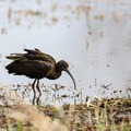 A glossy ibis in the marsh area.- Cameron Prairie National Wildlife Refuge