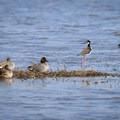 Waterfowl in the marsh wetlands.- Cameron Prairie National Wildlife Refuge