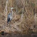 A heron poses in the marsh area.- Cameron Prairie National Wildlife Refuge
