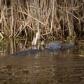 An alligator rests in the marshes on a sunny afternoon. - Cameron Prairie National Wildlife Refuge