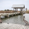 Pelicans sit on the crabbing pier.- Grand Isle State Park