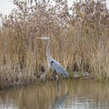 A heron in the pond.- Grand Isle State Park