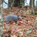 An armadillo walks near the park's Stagecoach Trail.- Sam Houston Jones State Park