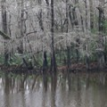 Swamp trees along the Riverwalk Trail hike.- Sam Houston Jones State Park