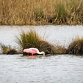 A roseate spoonbill digs for food in a marsh along the Creole Nature Trail.- Creole Nature Trail + All-American Road Scenic Byway