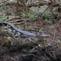 An alligator suns itself along the Marsh Overlook Trail at the Barataria Preserve.- Jean Lafitte National Historical Park + Preserve