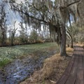 The Marsh Overlook Trail at the Barataria Preserve gives visitors a chance to see alligators in the wild if the conditions are right.- Jean Lafitte National Historical Park + Preserve