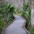 The trail passes through many of its namesake Palmettos along its 1.1 mile course.- Jean Lafitte Barataria Preserve Wetlands Trails