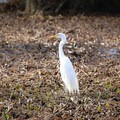 An egret stands in the Lower Kenta Canal along the Marsh Overlook Trail.- Jean Lafitte Barataria Preserve Wetlands Trails