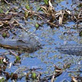 An alligator in the water of the Lower Kenta Canal.- Jean Lafitte Barataria Preserve Wetlands Trails