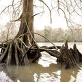 Spectacular tree roots.- Lake Fausse Pointe State Park