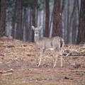 A deer makes its way around the park in the early morning hours.- Sam Houston Jones State Park