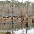 Day use areas in the park include platforms and bridges through the swamp that give visitors a chance to try to spot wildlife.- Sam Houston Jones State Park