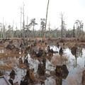 Cypress knees grow dramatically  in the center of the day use area.- Sam Houston Jones State Park