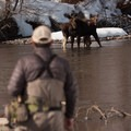 Two young moose on the Big Wood River.- Winter Fly Fishing with Silver Creek Outfitters