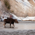 Moose on the Big Wood River.- Winter Fly Fishing with Silver Creek Outfitters