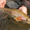 Rainbow trout on the Big Lost River.- Winter Fly Fishing with Silver Creek Outfitters