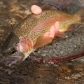 A rainbow trout on the Big Lost River.- Winter Fly Fishing with Silver Creek Outfitters