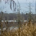 Tall grasses along the banks of the lake. - Chicot State Park Hiking Trail