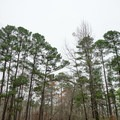 Pine tree canopy over the campground.- Beaver Dam Campground
