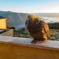 The kea alpine parrot, a very curious and social bird.- New Zealand Great Walks: Kepler Track