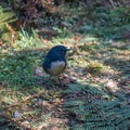 Small ground birds along the trail.- New Zealand Great Walks: Kepler Track