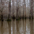 A shadowy lagoon flooded by high water on Dorcheat.- Bayou Dorcheat