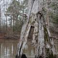 A gnarled old cypress tree.- Bayou Dorcheat