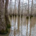 Tupelo trees enjoying early spring floods.- Bayou Dorcheat