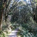 Re-entering the forest.- New Zealand Great Walks: Milford Track