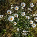 Wildflowers at the saddle.- New Zealand Great Walks: Routeburn Track
