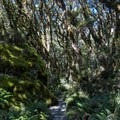 Back into the trees.- New Zealand Great Walks: Routeburn Track
