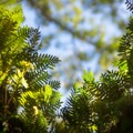 Small ferns growing on the branches of Live Oaks.- Chicot State Park