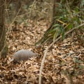 An armadillo shuffles around in the leaf litter in search of food. - Chicot State Park