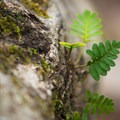 Small ferns growing out of a knot on a tree. - Caroline Dormon Trail