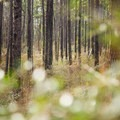 Longleaf pine forest is incredibly peaceful. - Caroline Dormon Trail