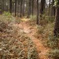 Meandering trail through the pine forest. - Caroline Dormon Trail