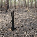 Recent prescribed burns help maintain a healthy forest ecosystem and keep wildfires from getting out of control. - Longleaf Scenic Byway