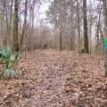 The nature trail wanders slightly uphill before heading down and making a loop.- Tunica Hills Wildlife Management Area Hiking Trails