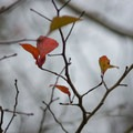 Some brightly-colored leaves from the previous year's foliage. - Catahoula National Wildlife Refuge