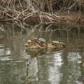 Turtles enjoying the warm afternoon on Lake Bruin. - Lake Bruin State Park