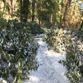 A narrow, snowy path through the rhododendrons.- Swallow Falls State Park