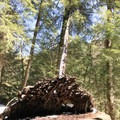 A recent wind storm tore a tree out of the ground.- Swallow Falls State Park
