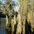 Cypress knees and Spanish moss.- Cane Bayou