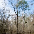 Winter canopy in Kisatchie National Forest.- Saline Bayou