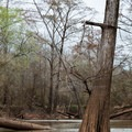 Huge cypress trees growing in the bayou.- Bayou Jean de Jean