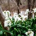 White daffodils growing wild along Bayou Jean de Jean.- Bayou Jean de Jean